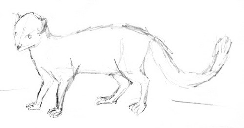 how-to-draw-a-mongoose- 014