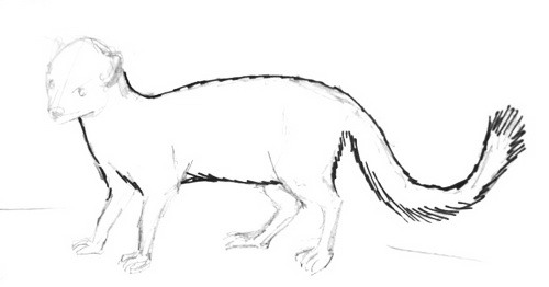 Mongoose body and taildrawing