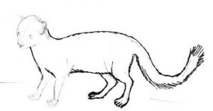 how-to-draw-a-mongoose- 016 - копия