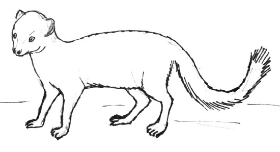 Mongoose line drawing -13