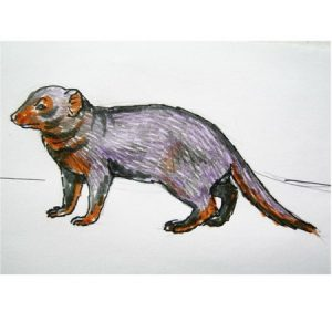 Dwarf mongoose colored drawing