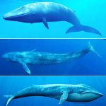 Blue Whale drawing tutorial