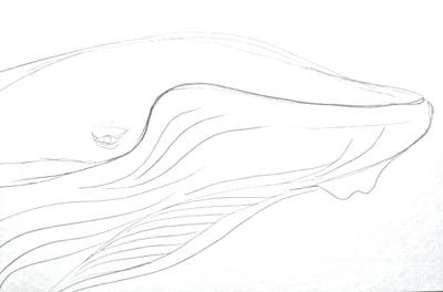 Humpback Whale`s head drawing