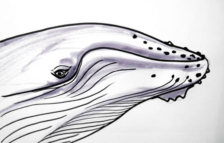 Humpback Whaleё`s head and face drawing