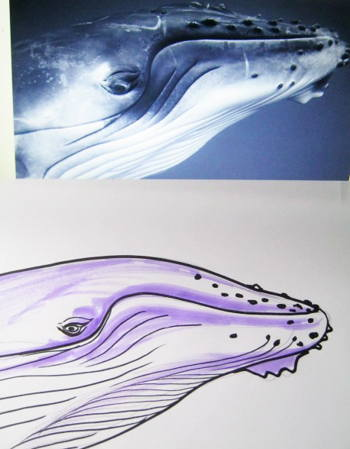 Humpback Whale head drawing