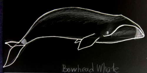 Bowhead Whale colored drawing