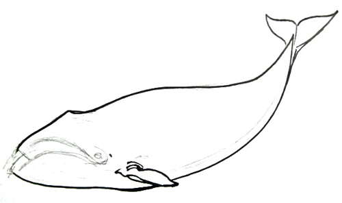 Bowhead Whale drawing -13