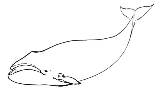 Bowhead Whale drawing 7