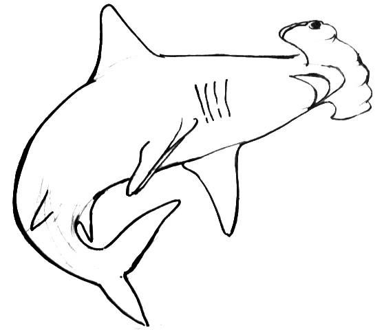 Great white shark head drawing