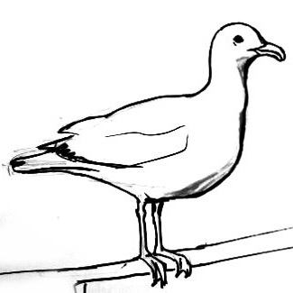 Seagull drawing