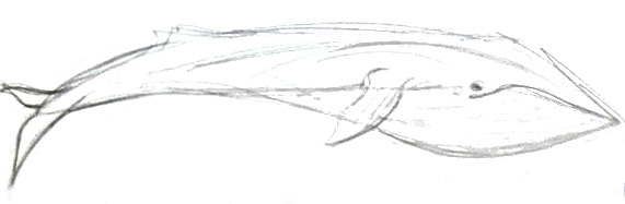 Blue Whale pencil sketch