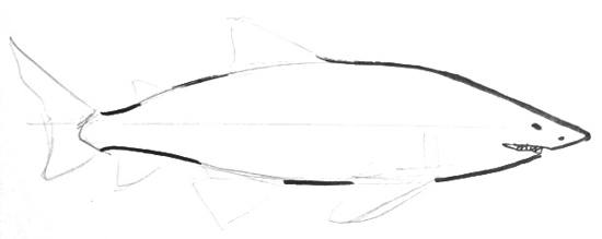 White shark step by step drawing