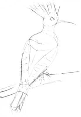 Hoopoe pencil sketch