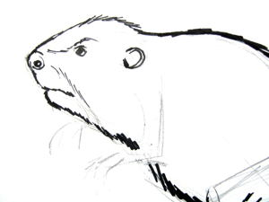Beaver head drawing