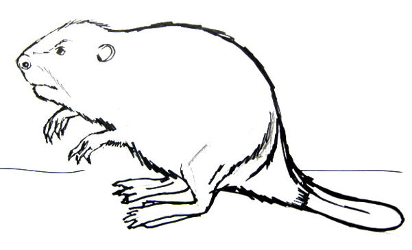 Beaver line drawing