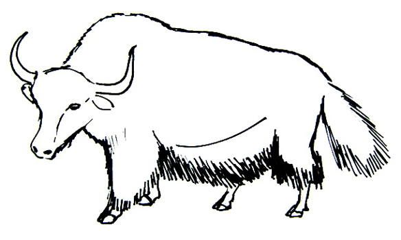 Line Drawing Yak : How to draw a yak