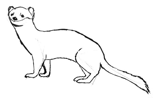 ermine drawing