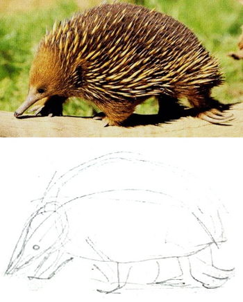 Echidna drawing lesson
