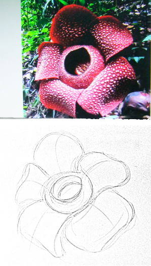 Rafflesia drawing-1