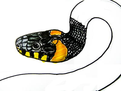 Grass snake head and face colored drawing