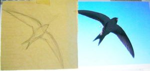 How to draw a swift bird flying