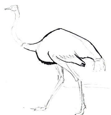 Ostrich body drawing