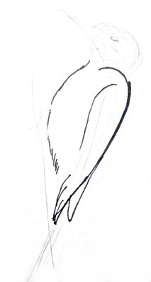 Woodpecker`s body drawing