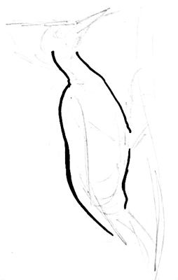 American woodpecker body drawing