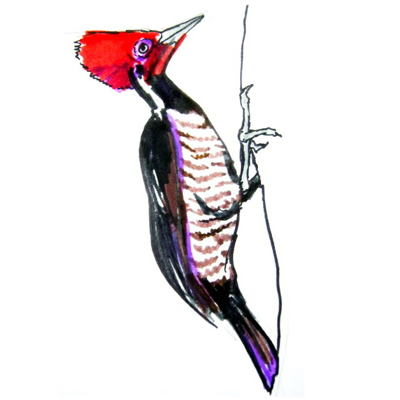 Red-header Woodpecker colored drawing