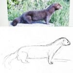 How to draw a Mink tutorial