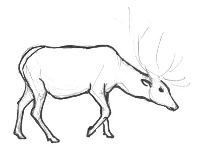Wapiti deer drawing tutorial