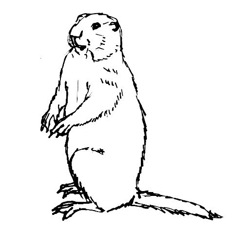 How to draw a groundhog(marmot)