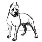 How to draw a Pit Bull