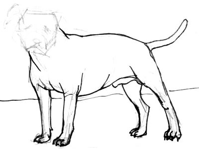 Pitbull drawing  step-by-step
