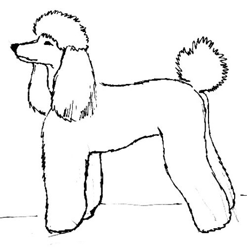 Poodle line drawing
