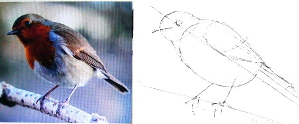How to draw a redbreast