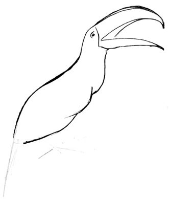 Toucan body and head draing