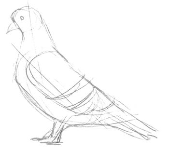 Pigeon pencil sketch -2