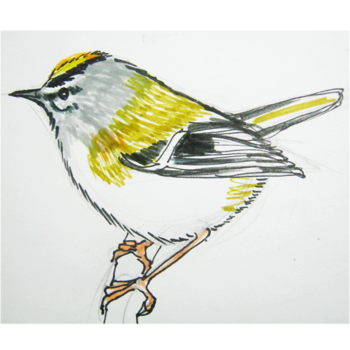 How to draw a Goldcrest tutorial