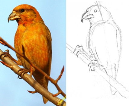How to draw a Crossbill