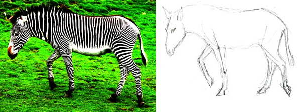 How to draw a Zebra tutorial