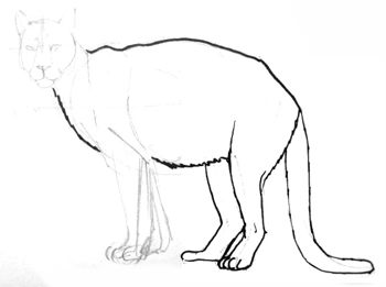 Puma hind legs drawing