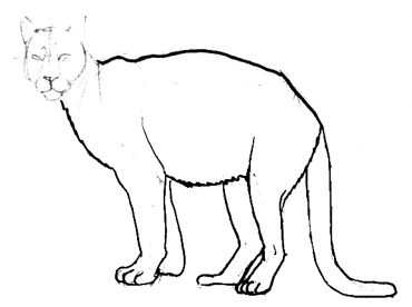 Cougar(puma) legs drawing