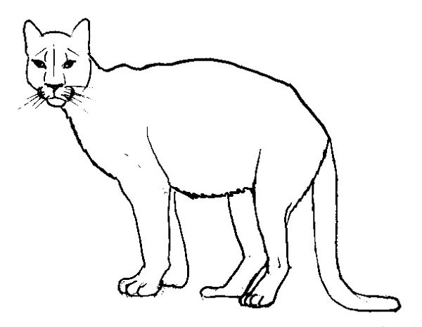 Cougar(puma) outline