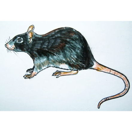Realistic rat drawing