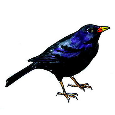 How to draw a blackbird tutorial