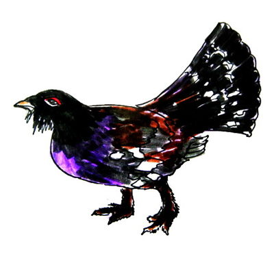 Wood-grouse colored drawing