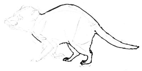 Tasmanian devil hind legs drawing