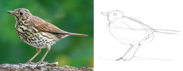 How to draw Thrush Fieldfare