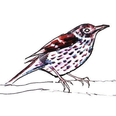 Fieldfare colored drawing